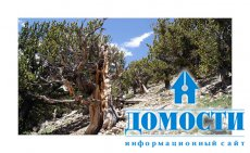 Тысячелетние деревья под угрозой гибели