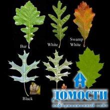 Формы дубовых листьев