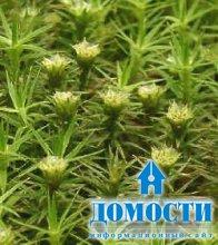 Мох – растение чудесное