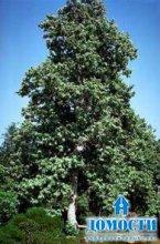 Представители растений с твердой древесиной