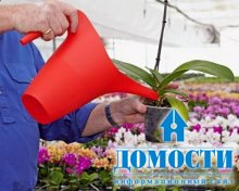 Уход и выращивание орхидей фаленопсис