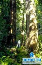 Хвойный лес на тихоокеанском побережье